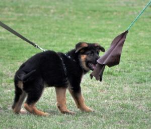 Wotan as puppy